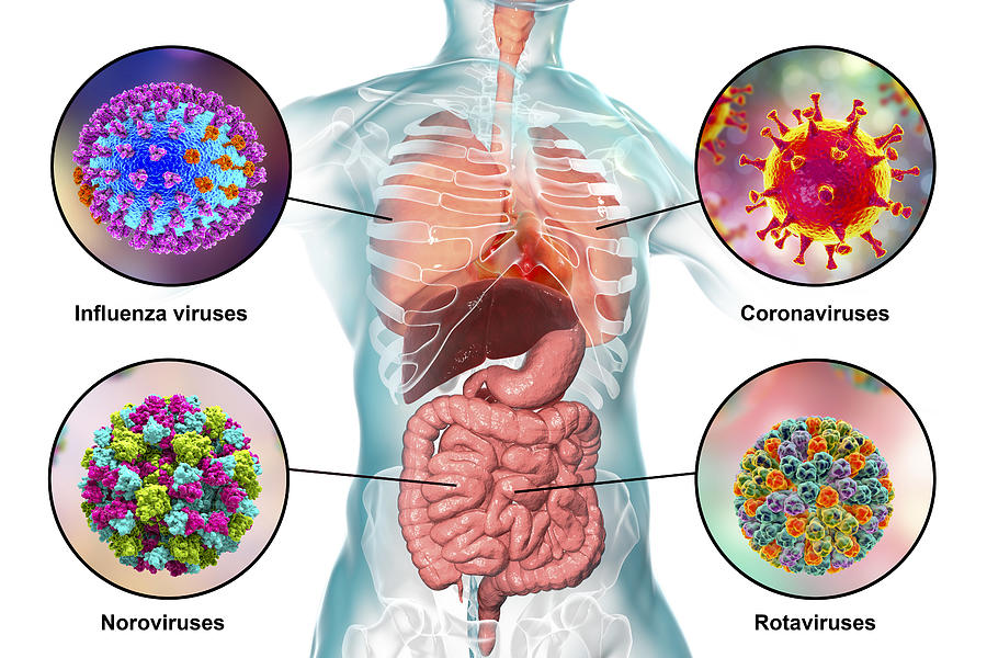 Viral respiratory and enteric infections, illustration Drawing by Kateryna Kon/science Photo Library
