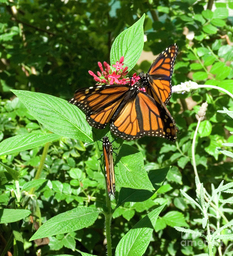 Monarchs Photograph - Waiting in Line  by Julieanne Case
