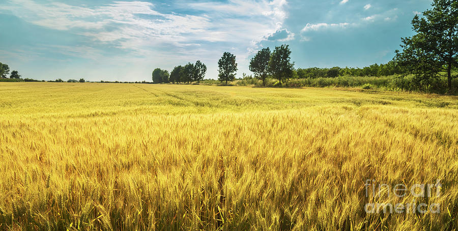 Wheat field in summer by Jelena Jovanovic