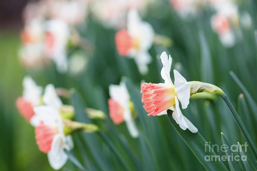 White And Orange Daffodils Photograph