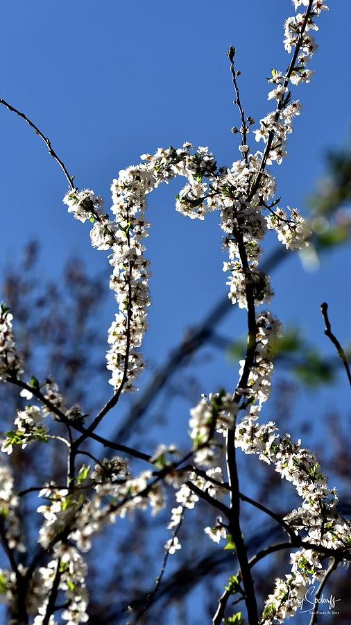 White Blossoms Blue Sky by Jerry Sodorff