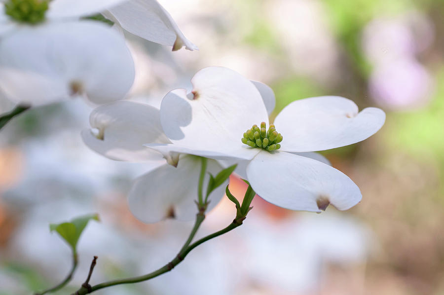 White Flowering Cornus Florida by Jenny Rainbow