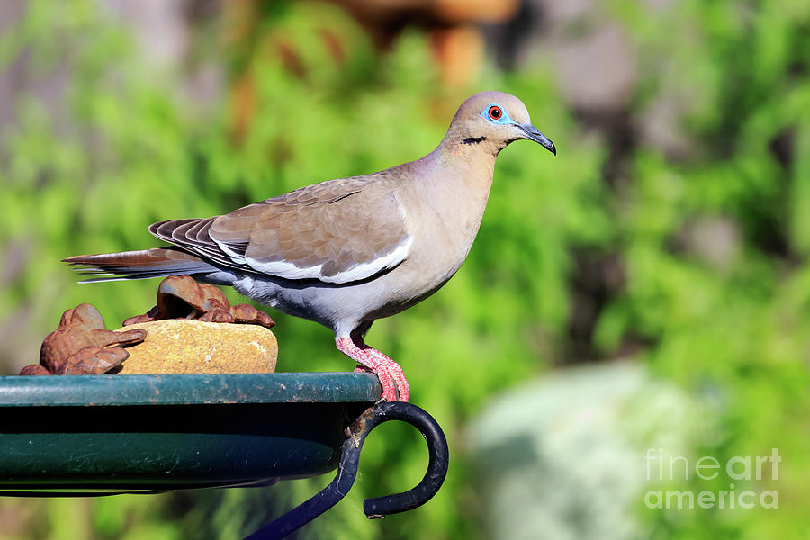 White-winged Dove On A Bird Bath Photograph