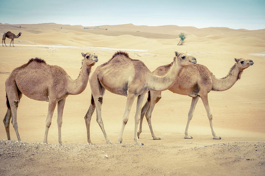 Wild Camels In The Middle Eastern Desert Photograph