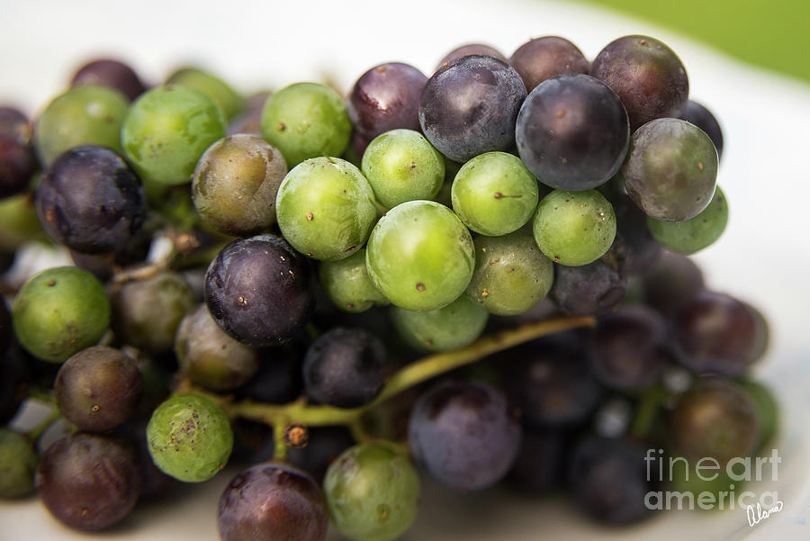 Wild Grapes Photograph