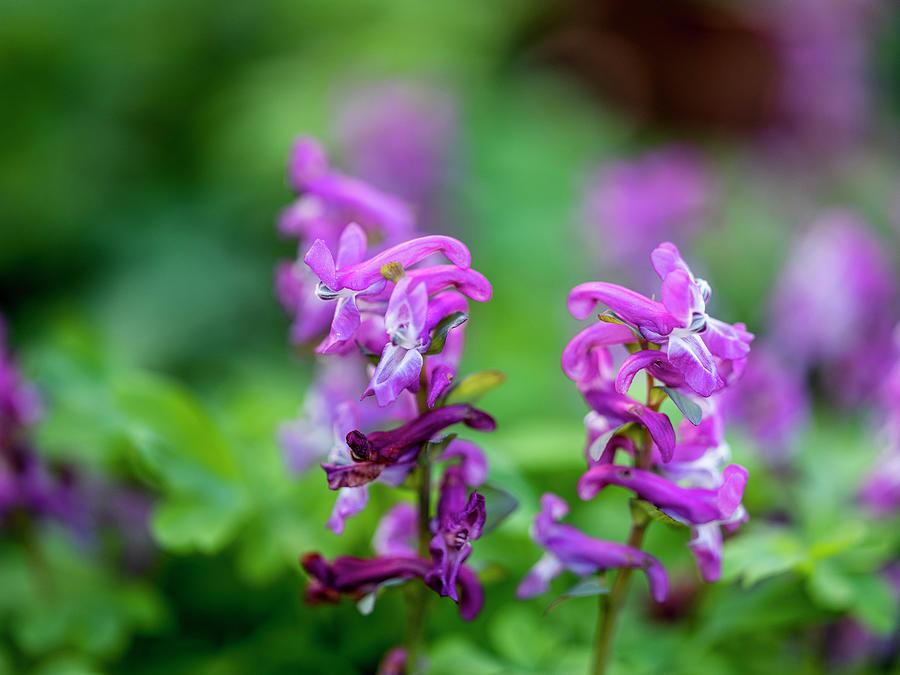 Wild Violet Orchids Photograph