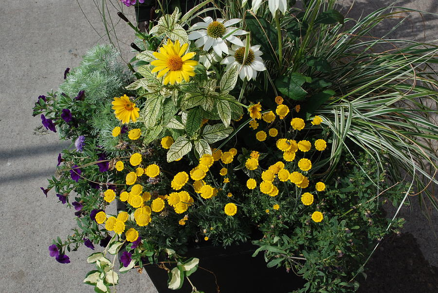 Wildflower Tansy And Company Photograph