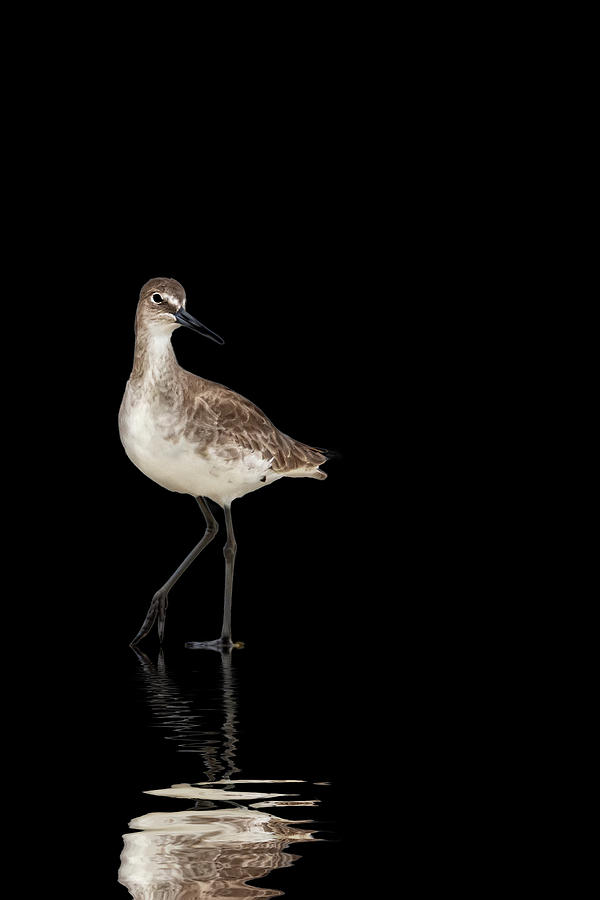 Willet Standing by Perla Copernik