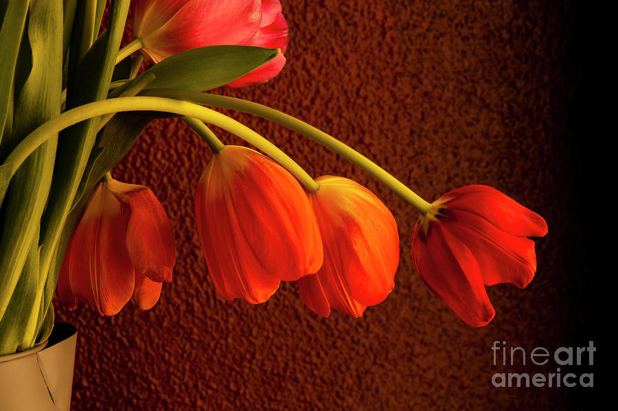 Window Light With Multicolored Tulips Photograph