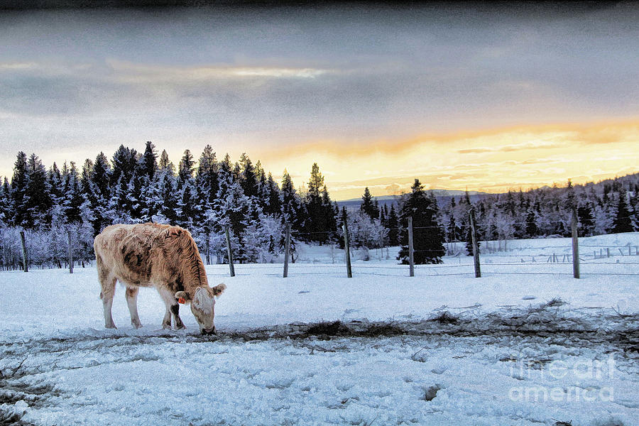 Cattle Photograph - Winter Grazing by Roland Stanke