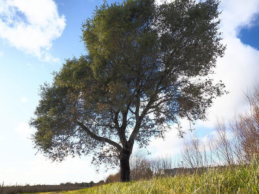 Winter Oak by Richard Thomas