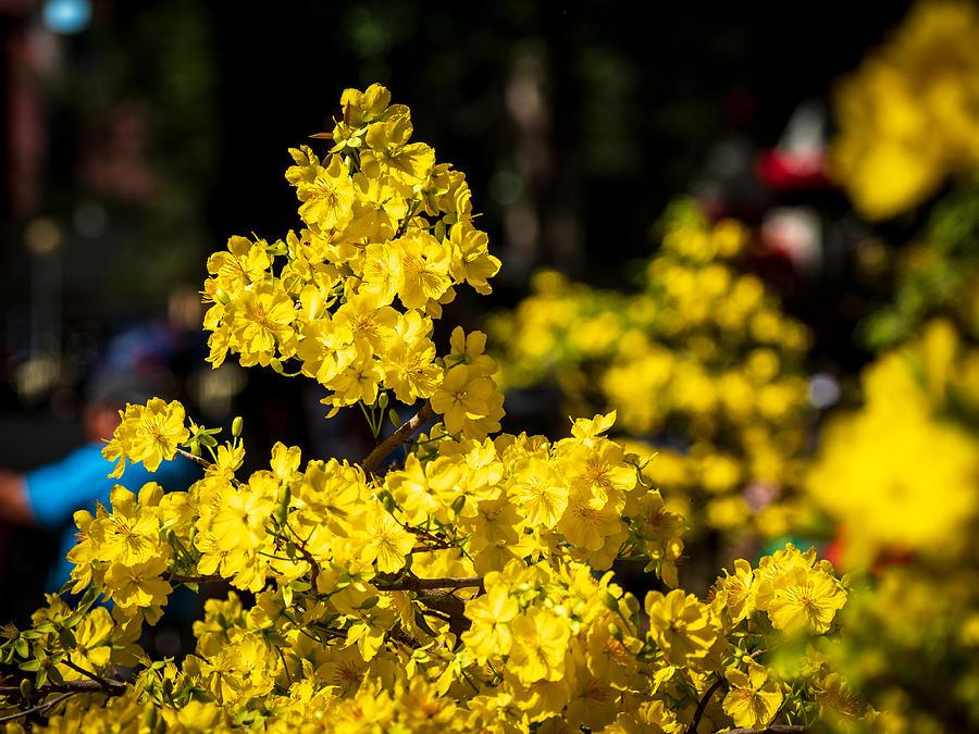 Yellow Apricot Flowers (Vietnamese Hoa Mai) Photograph by Ak_phuong