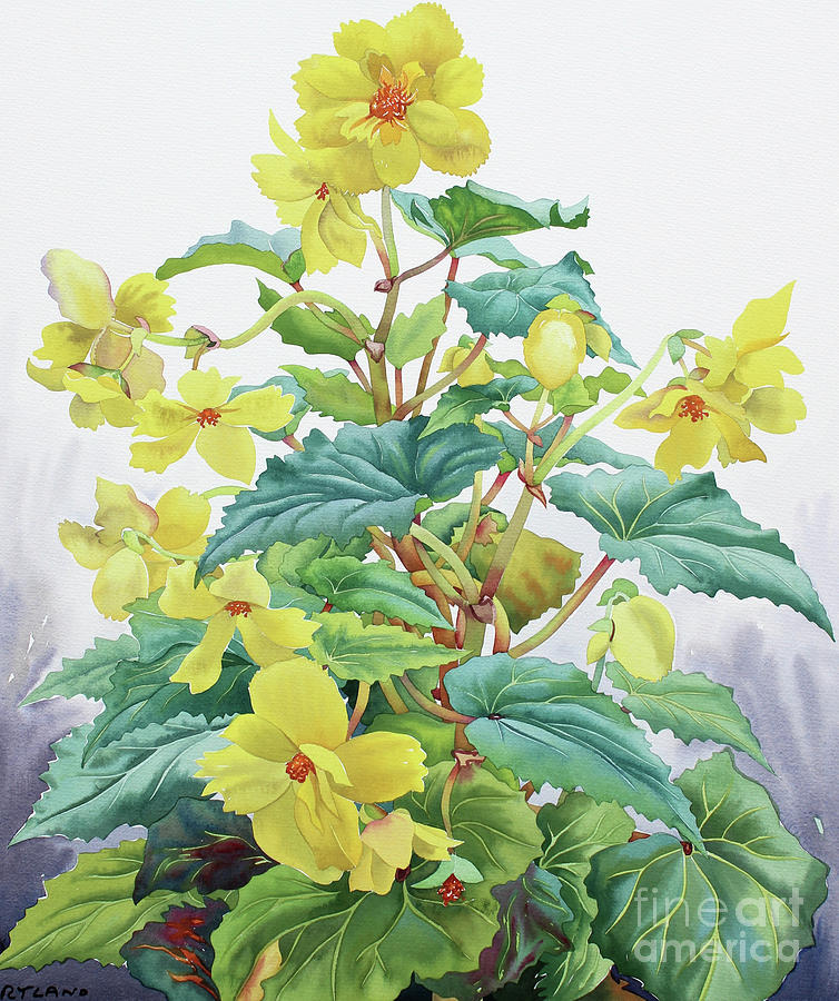 Yellow Begonia  by Christopher Ryland