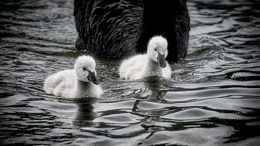 Young uns, Black Swan Cygnets Photograph