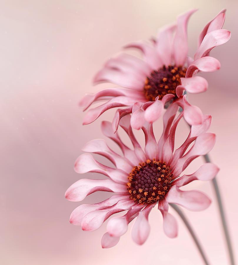 Osteospermum African Daisy Photograph
