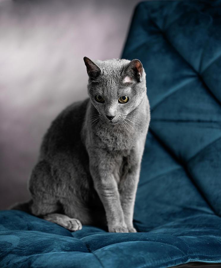 Russian Blue Photograph