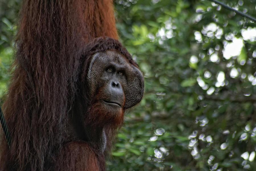 Borneo Orangutans In Sarawak Digital Art