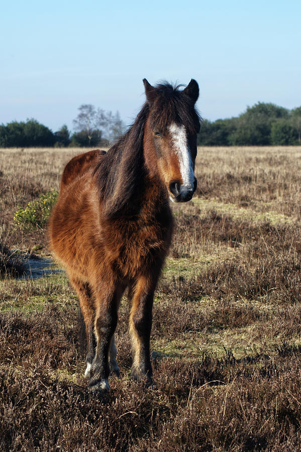New Forest Pony Photograph