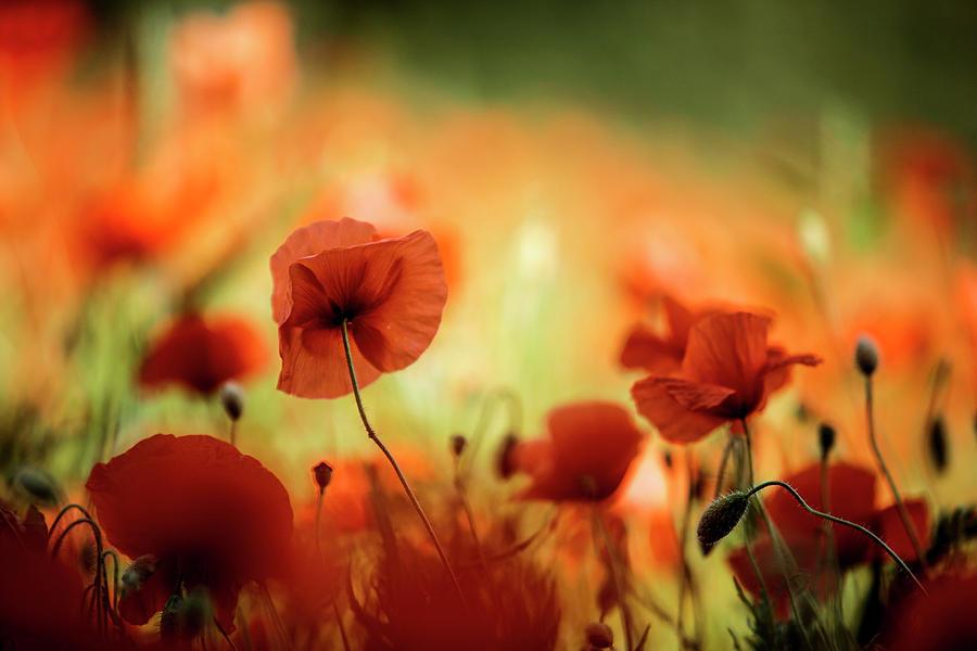 Summer Poppy Photograph