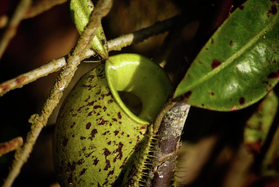 Borneo Picture Plant In Sarawak Digital Art