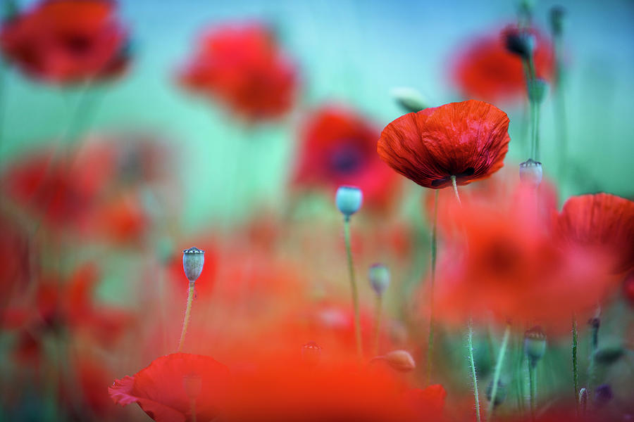 Poppy Dream Photograph