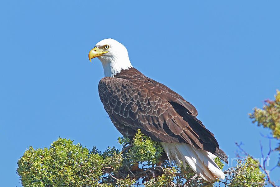 Bald Eagle Photograph - Bald Eagle by Gary Wing