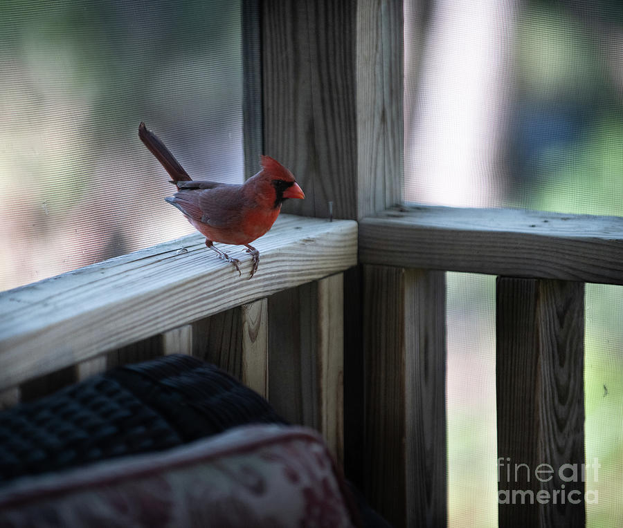Red Bird On Screen Porch Photograph