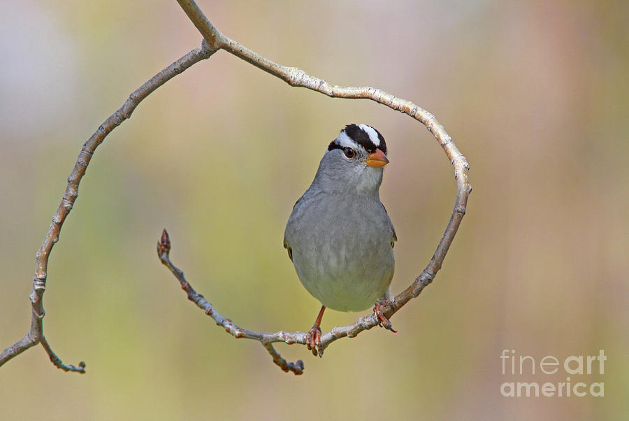 White-crowned Sparrow Photograph - White-crowned Sparrow by Gary Wing