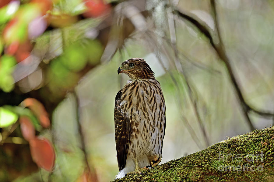 A Juvenile Coopers Hawk Photograph