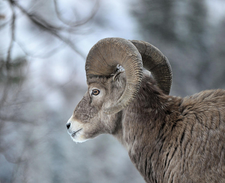 Bighorn Ram by Whispering Peaks Photography