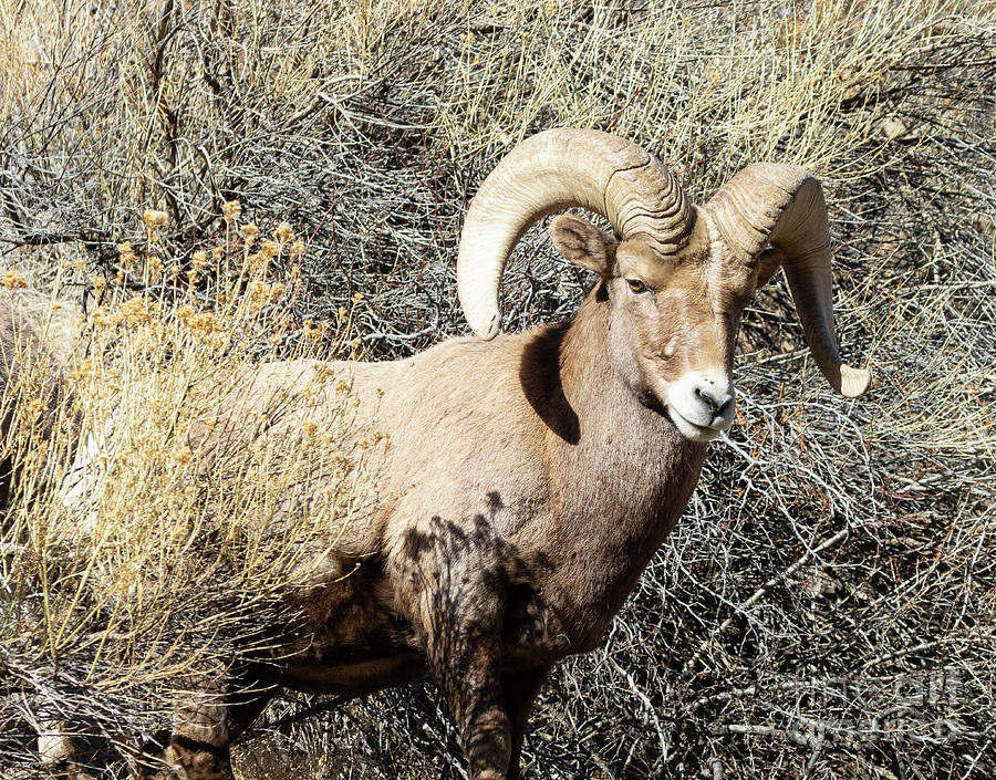 Bighorn Sheep In Waterton Canyon By The South Platte River Photograph