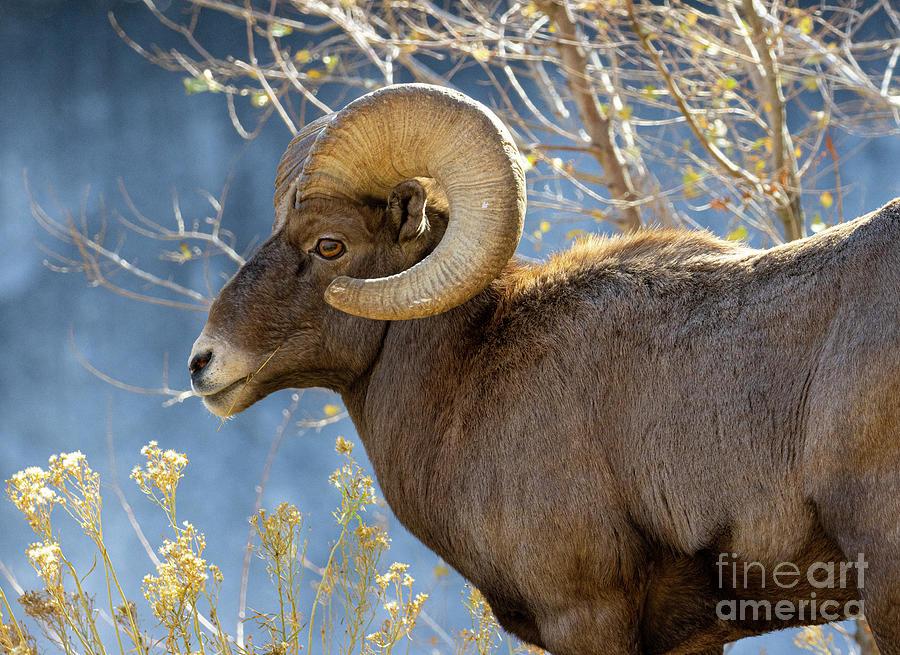 Bighorn Sheep Waterton Photograph