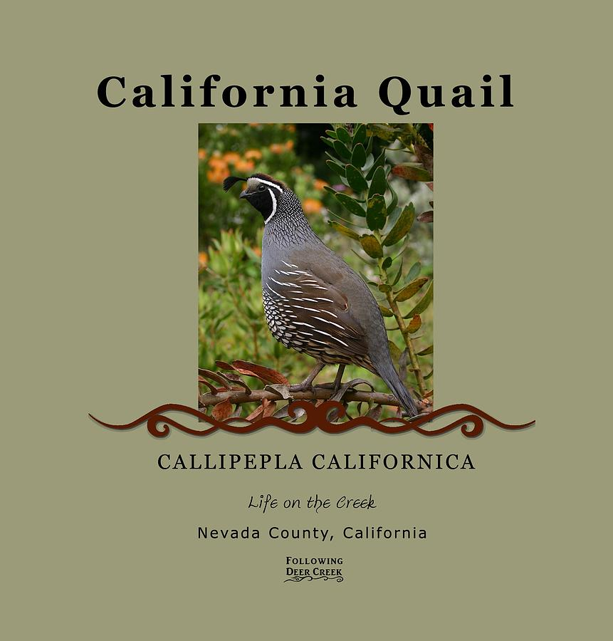 California Quail by Lisa Redfern