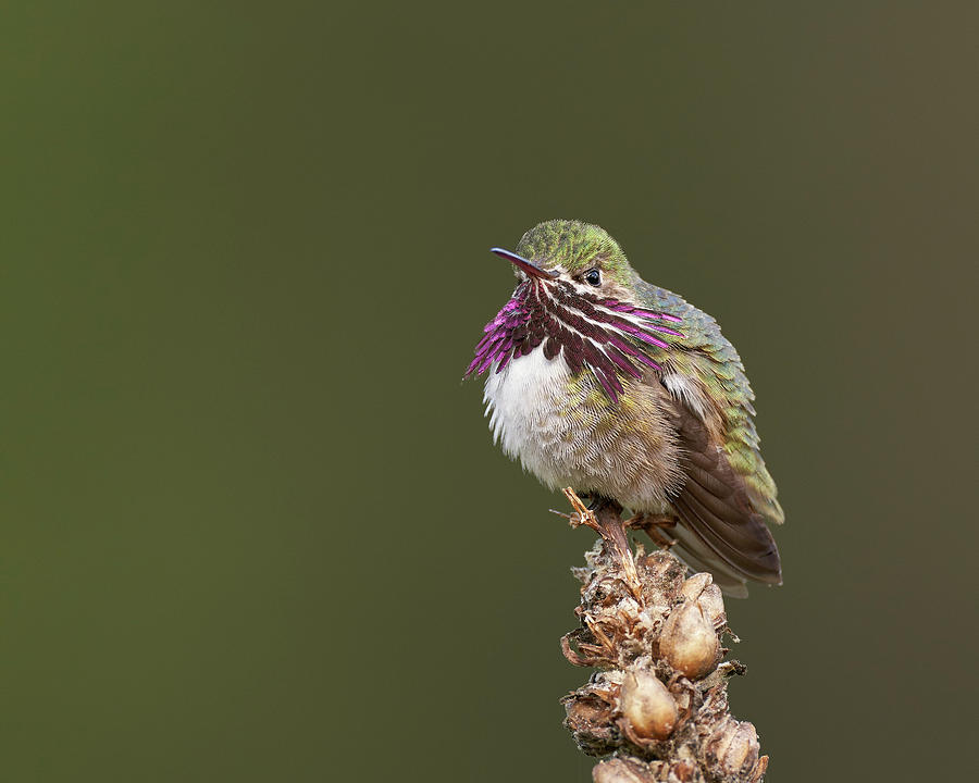 Birds Photograph - Calliope Hummingbird, El Dorado County California by Doug Herr