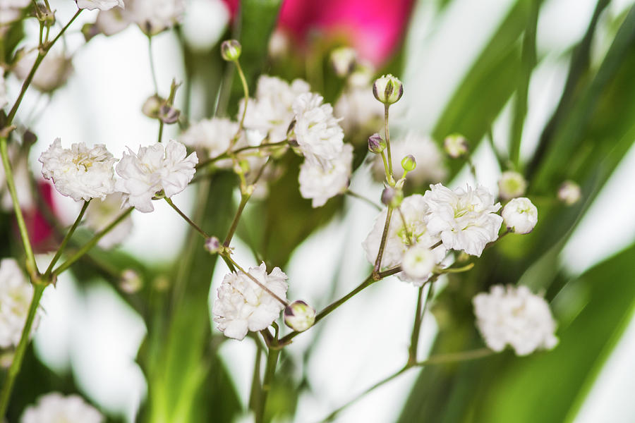 Closeup Gypsophila On Blur Background Of Other Gypsophila. Photograph