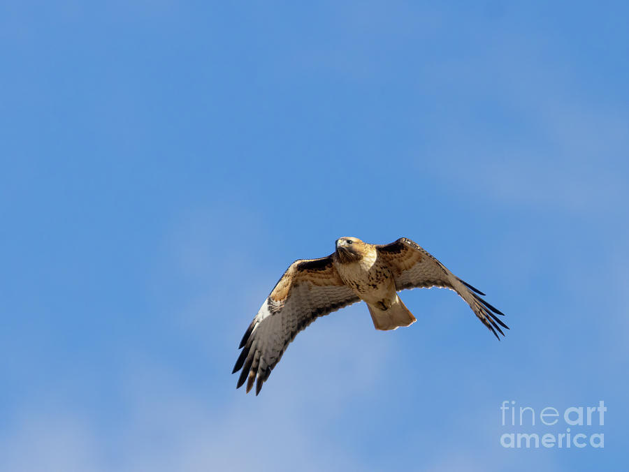Colorado Red-tailed Hawk In Flight Photograph