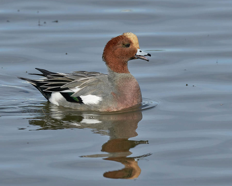 Eurasian Wigeon, Colusa County California by Doug Herr