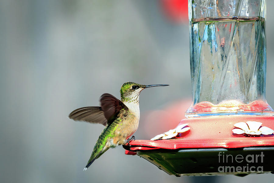 Female Black-chinned Hummingbird Perched Photograph