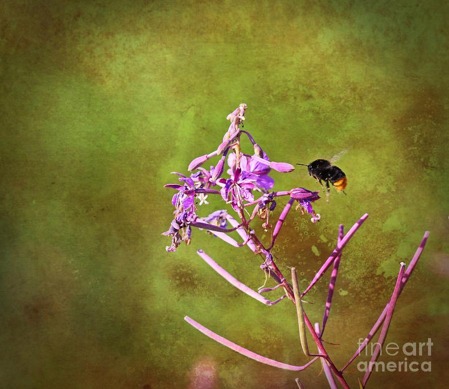 Fireweed 7 Photograph
