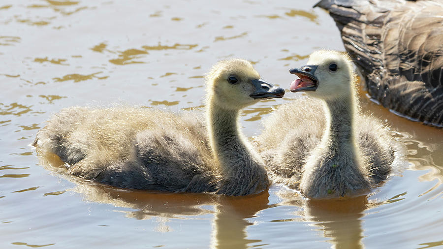 2 Goslings Playing Photograph