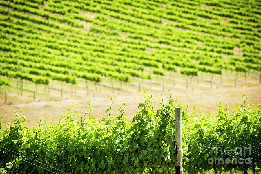 Grape Vines Photograph