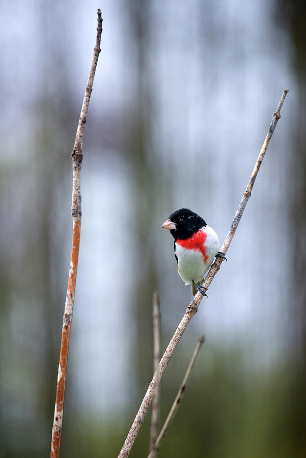 Grosbeak Photograph