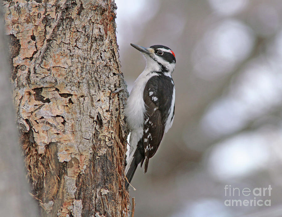 Hairy Woodpecker Photograph - Hairy Woodpecker by Gary Wing