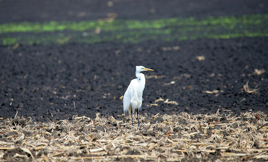 Great White Egret Photograph - In the Field by Linda Kerkau
