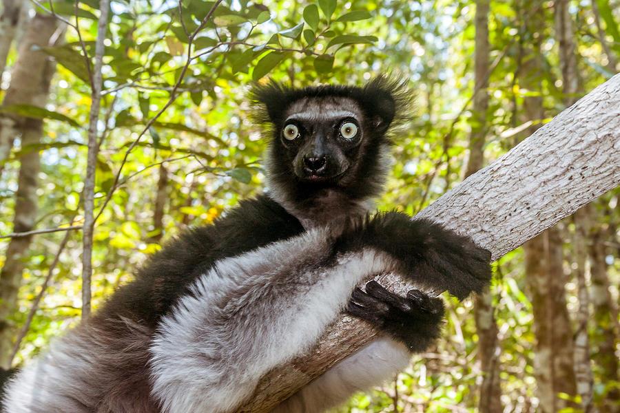 Indri Indri (Babakoto) Photograph by Pierre-Yves Babelon