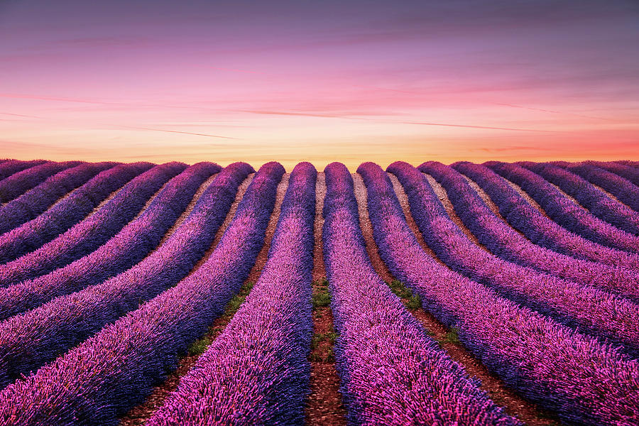 Lavender Flower Blooming Fields Endless Rows At Sunset Valensol Photograph By Stevanzz Photography