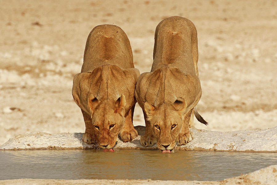 Lioness Photograph - 2 Lioness drinking at a waterhole by MaryJane Sesto