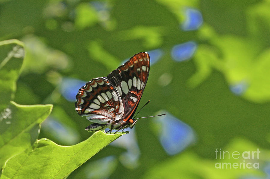 Lorquin's Admiral Photograph - Lorquins Admiral by Gary Wing