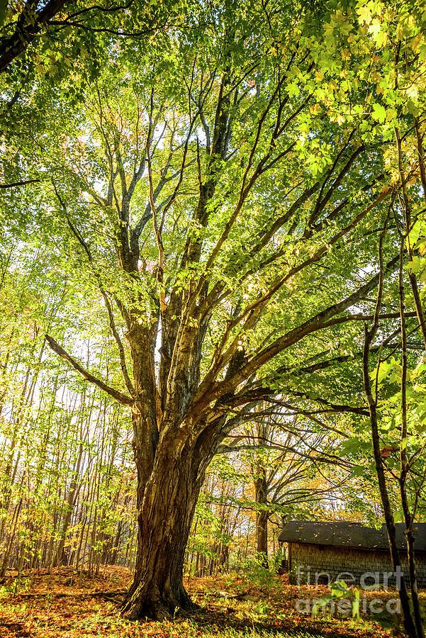 Maple Tree Photograph