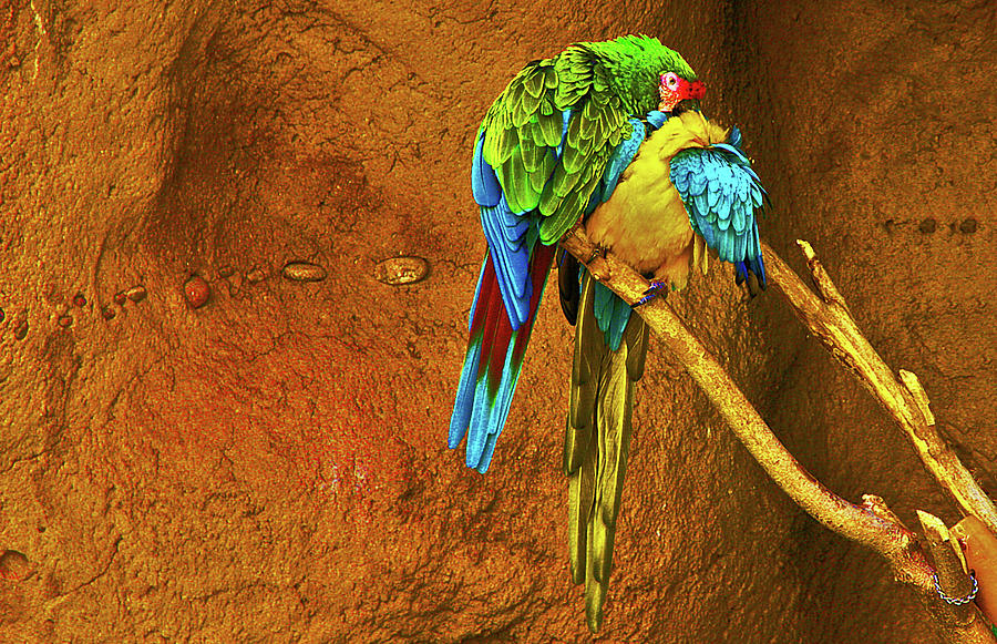 2 Parrots Green Blue Yellow Red 2 2922020 2 2262015 4317 Photograph by David Frederick